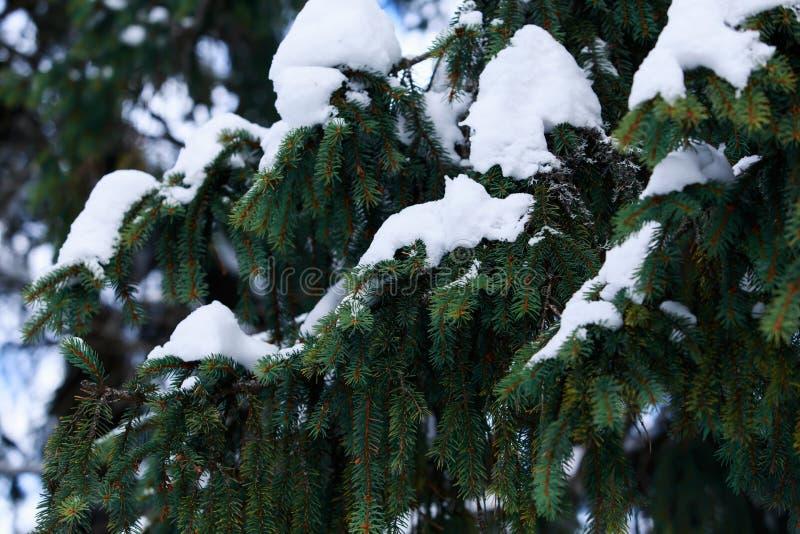 La neige a couvert des branches de sapin photo libre de droits