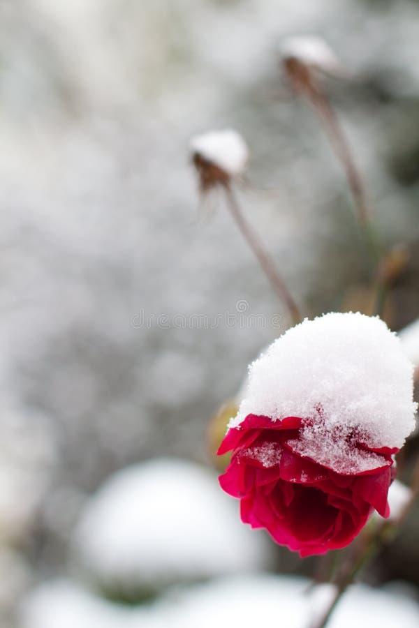 La neige a couvert des fleurs image stock