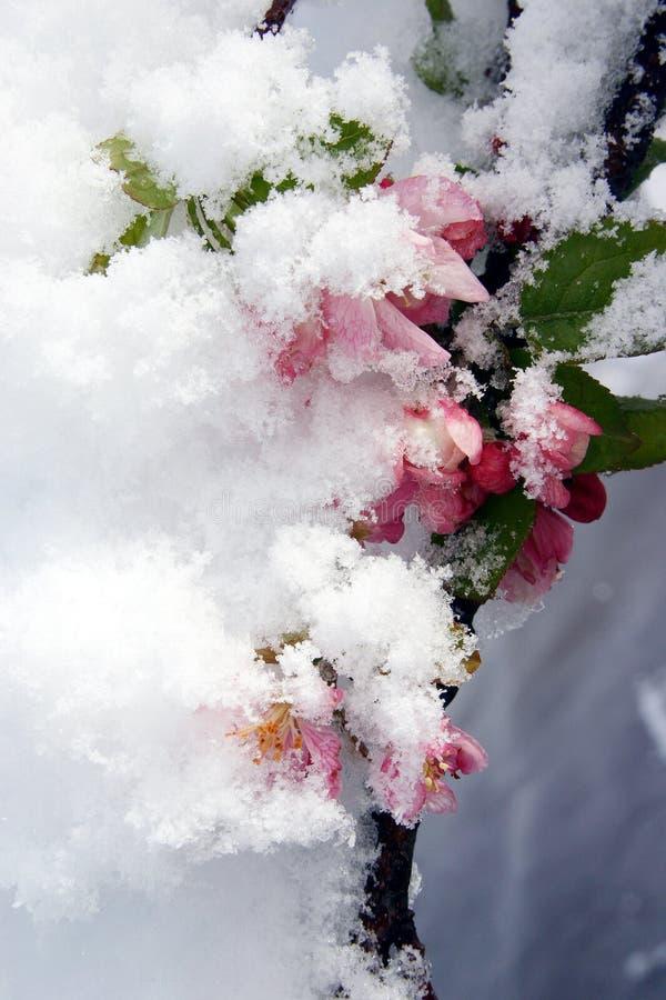 La neige a couvert des fleurs images libres de droits