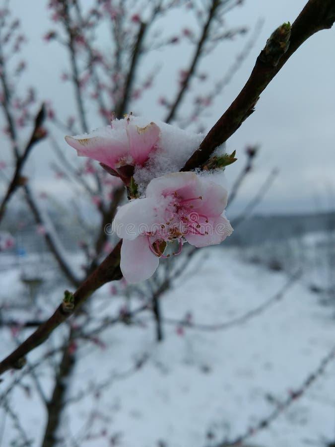 La neige a couvert des fleurs de pêche images libres de droits