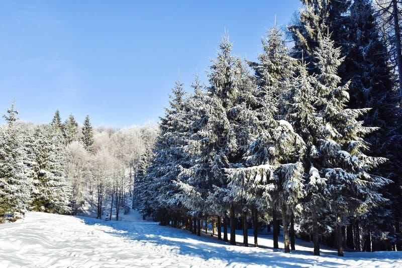 La neige a couvert des forêts de sapin photo libre de droits