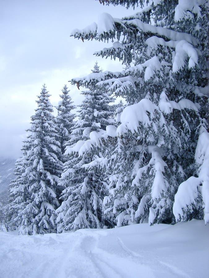 La neige a couvert des pins image stock