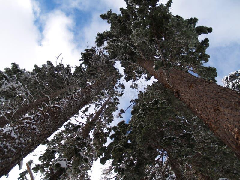La neige a couvert des sapins de Douglas photographie stock
