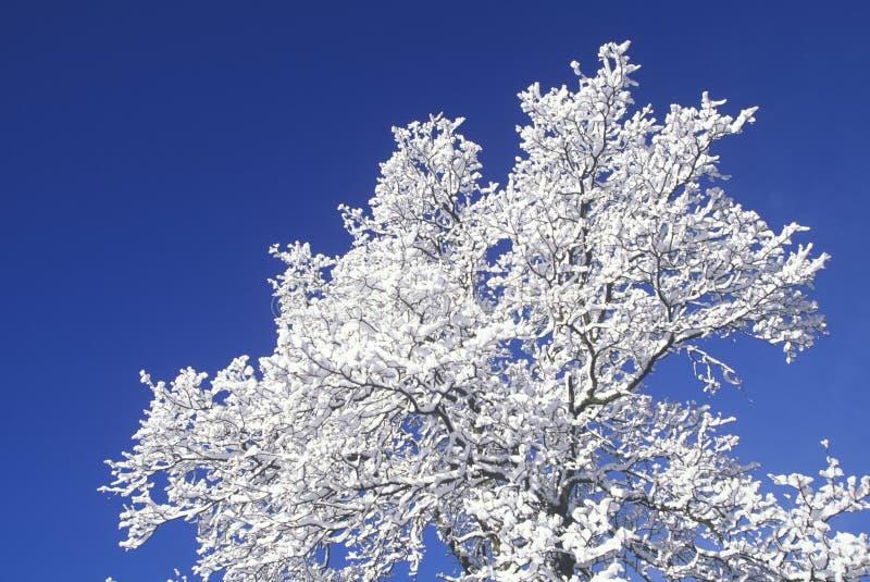 La neige a couvert l'arbre, parc national de séquoia, la Californie image libre de droits
