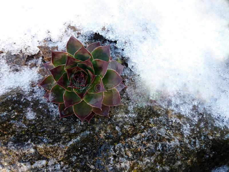 La neige a couvert l'hiver de houseleek, succulents photographie stock