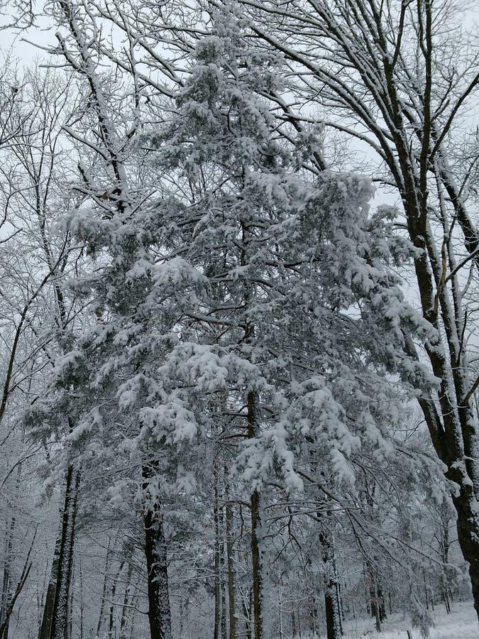 La neige a couvert le cèdre image stock