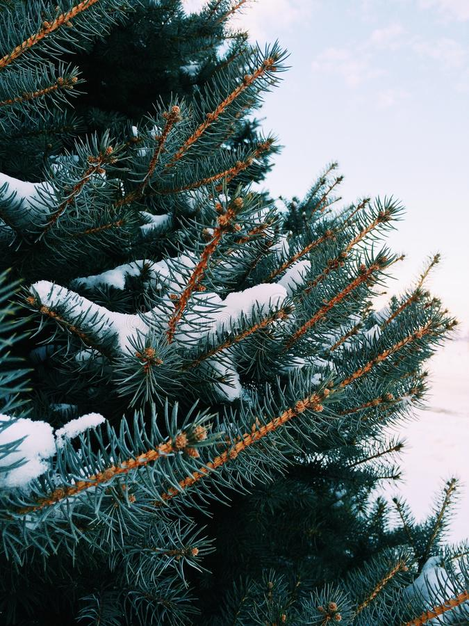 La neige a couvert le pin photos stock