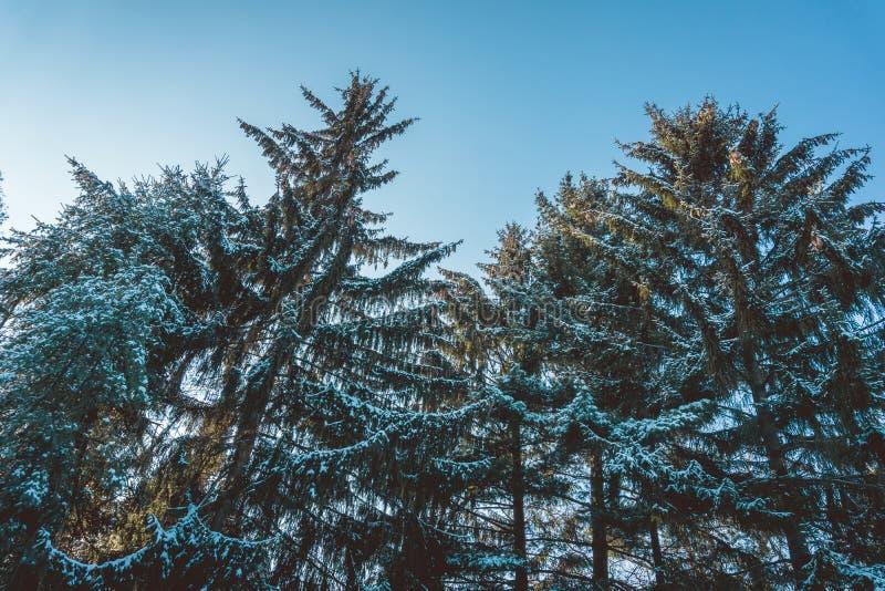 La neige a couvert les arbres à feuilles persistantes dans la forêt en hiver images libres de droits