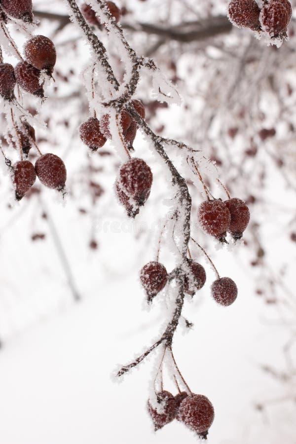 La neige a couvert les baies rouges images libres de droits