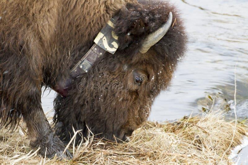 La neige a couvert la tête de frôler le bison de collier par la rivière dans la neige images stock
