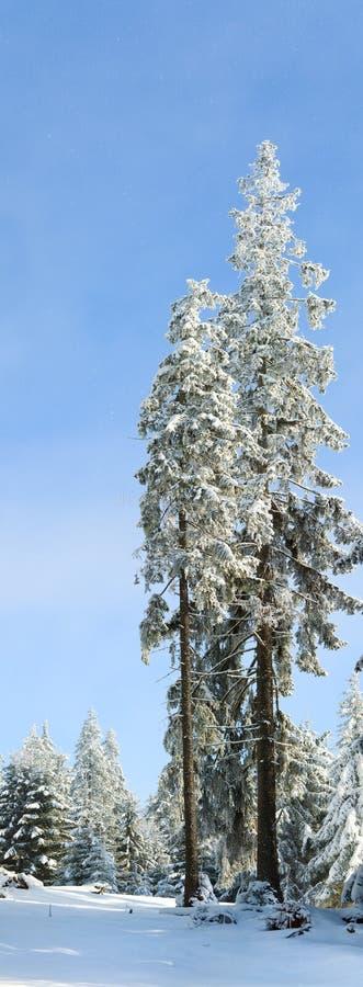 La neige de l'hiver a couvert l'arbre de sapin élevé image stock