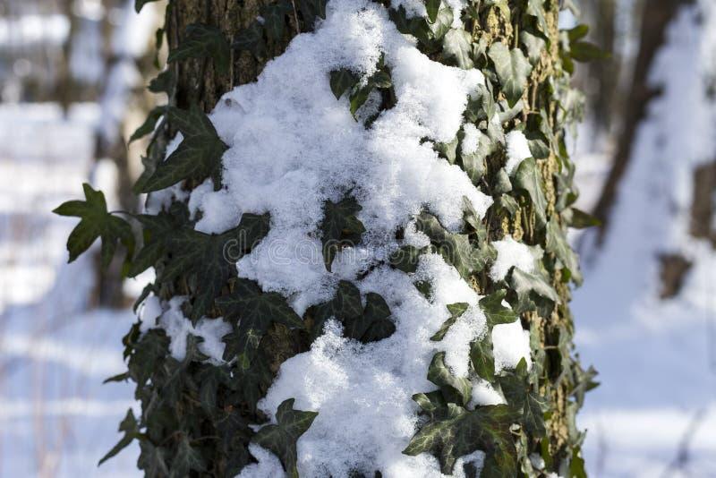 La neige en parc est un jour d'hiver heureux ensoleillé lumineux Lierre avec la neige sur une écorce d'arbre image libre de droits