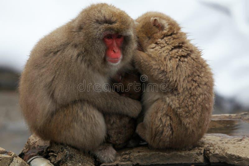 La neige monkeys, macaque, avant de se baigner en source thermale, préfecture de Nagano, Japon photographie stock libre de droits