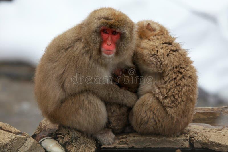 La neige monkeys, macaque, avant de se baigner en source thermale, préfecture de Nagano, Japon photographie stock