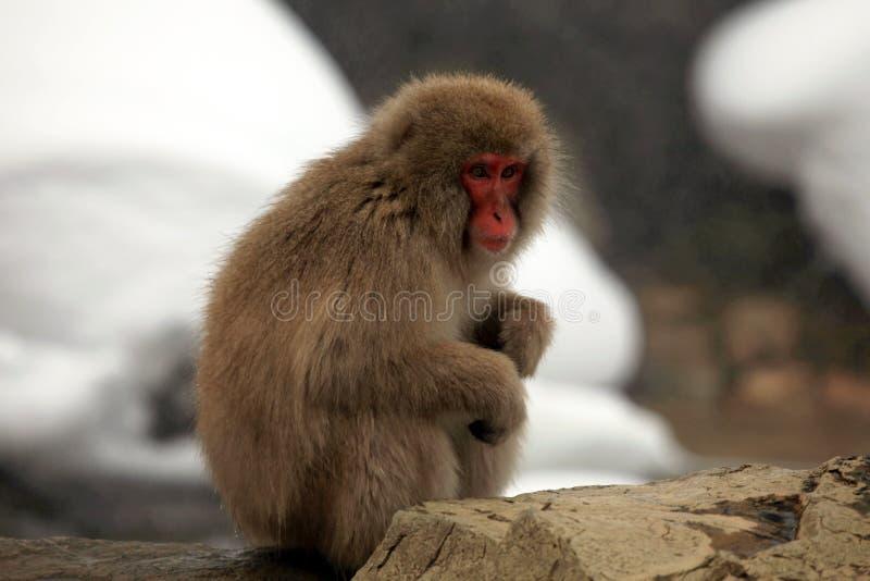 La neige monkeys, macaque, avant de se baigner en source thermale, préfecture de Nagano, Japon images stock