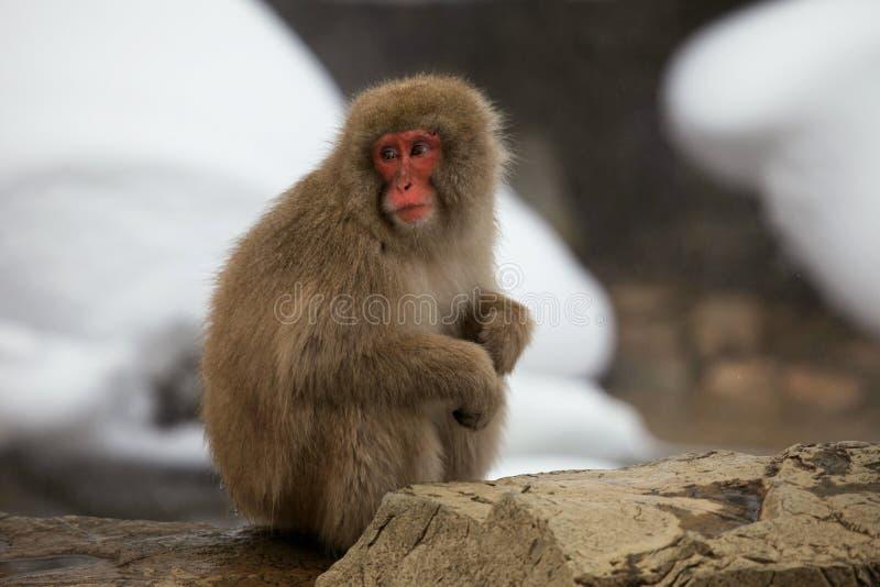 La neige monkeys, macaque, avant de se baigner en source thermale, préfecture de Nagano, Japon photo stock