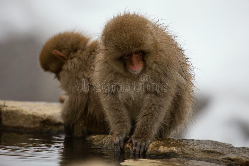 La neige monkeys, macaque, se baignant en source thermale, préfecture de Nagano, Japon photographie stock libre de droits