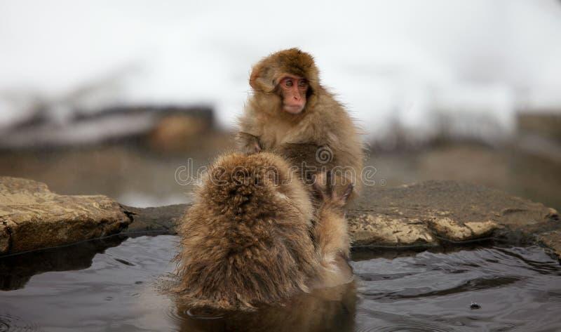 La neige monkeys, macaque se baignant en source thermale, préfecture de Nagano, Japon images libres de droits