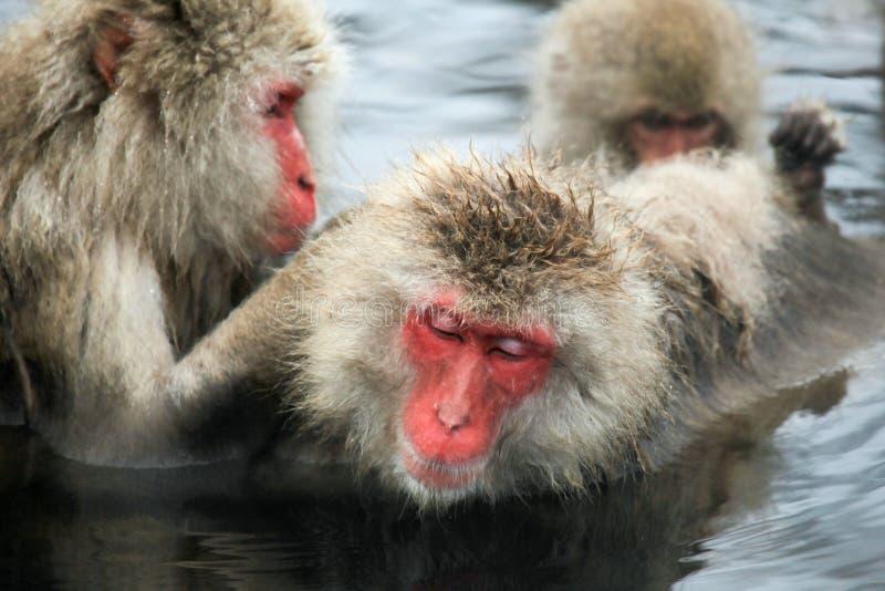 La neige monkeys, macaque se baignant en source thermale, préfecture de Nagano, Japon photo libre de droits