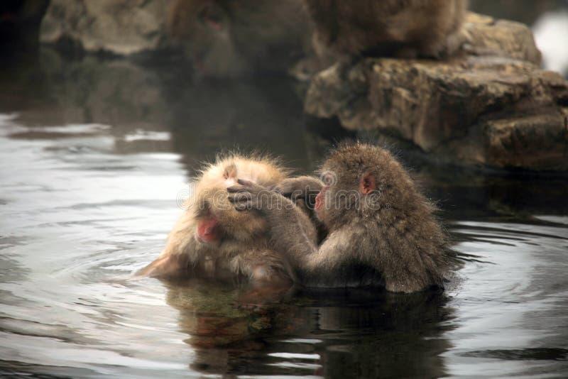 La neige monkeys, macaque se baignant en source thermale, préfecture de Nagano, Japon photo stock