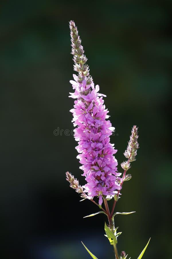 La nepeta è un genere delle angiosperme nella lamiaceae della famiglia immagini stock