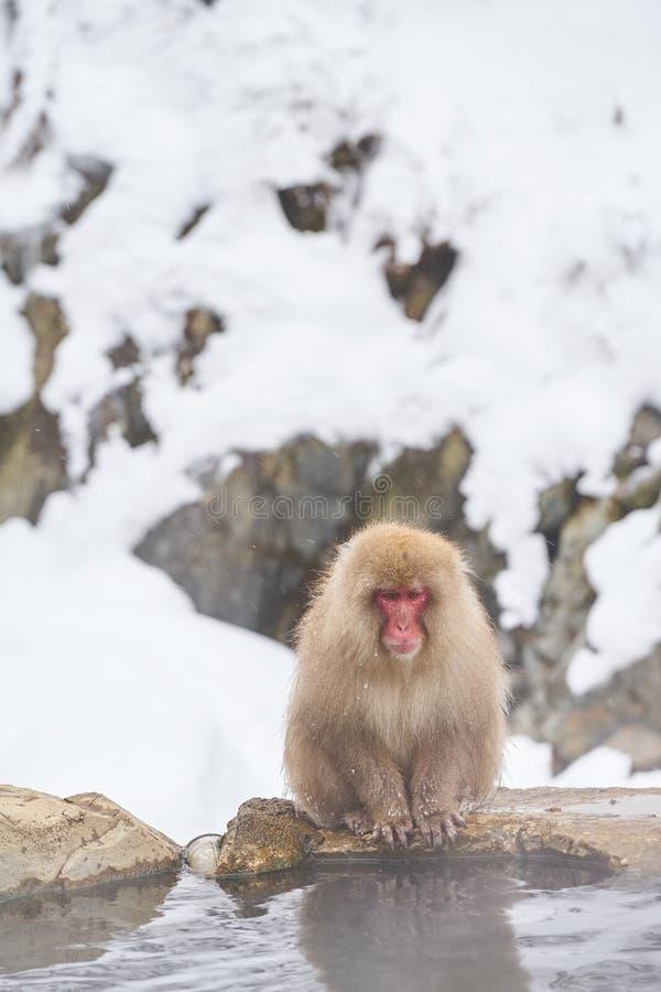 La neve giapponese monkeys governare nel macaco giapponese dello stagno caldo, il parco della scimmia di Jigokudani, Nagano, scim fotografia stock