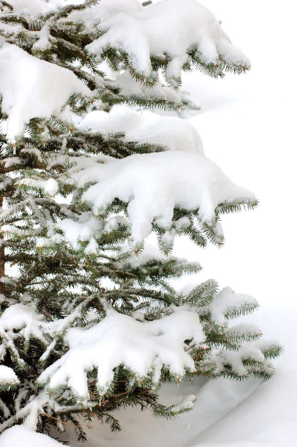 La neve ha limitato l'albero di natale fotografia stock libera da diritti