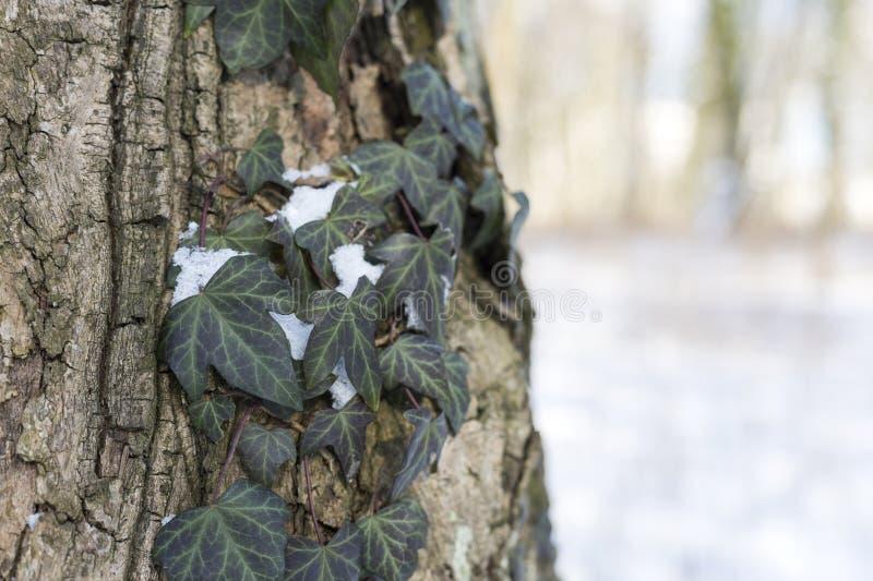 La neve nel parco è un giorno di inverno soleggiato luminoso Edera con neve su una corteccia di albero fotografia stock libera da diritti