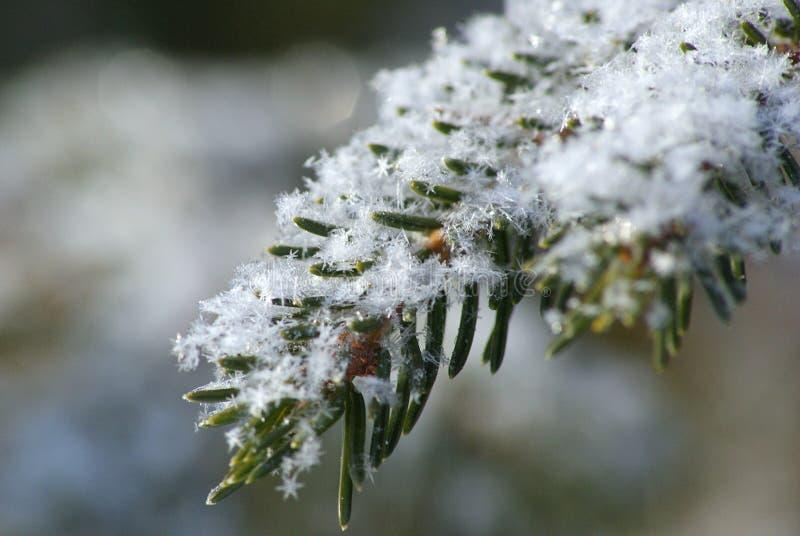 Download La Neve Si Sfalda Sul Ramo Del Pino Immagine Stock - Immagine di albero, neve: 55353593