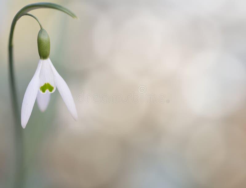 La nieve cae la flor salvaje del blanco puro, fondo fotos de archivo