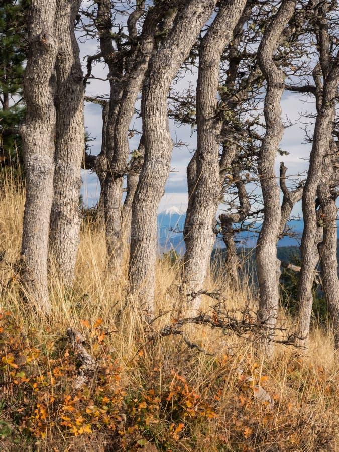 La nieve capsuló la montaña en distancia entre los troncos de árbol imagen de archivo libre de regalías