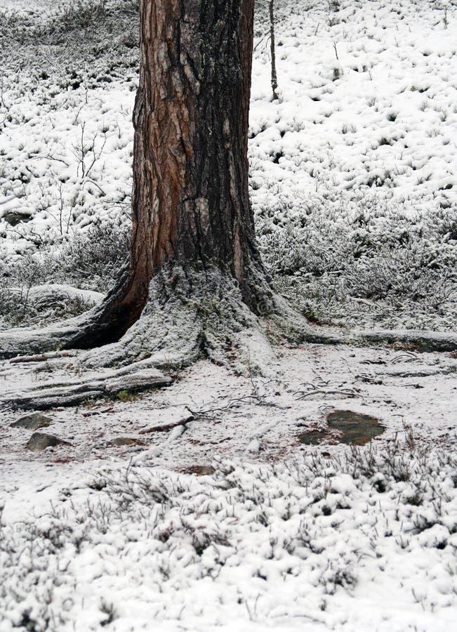 La nieve en se alza de un tree×¥ masivo Laponia, Finlandia fotografía de archivo libre de regalías