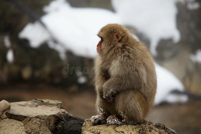 La nieve monkeys, macaque, antes de bañar en aguas termales, prefectura de Nagano, Japón fotos de archivo