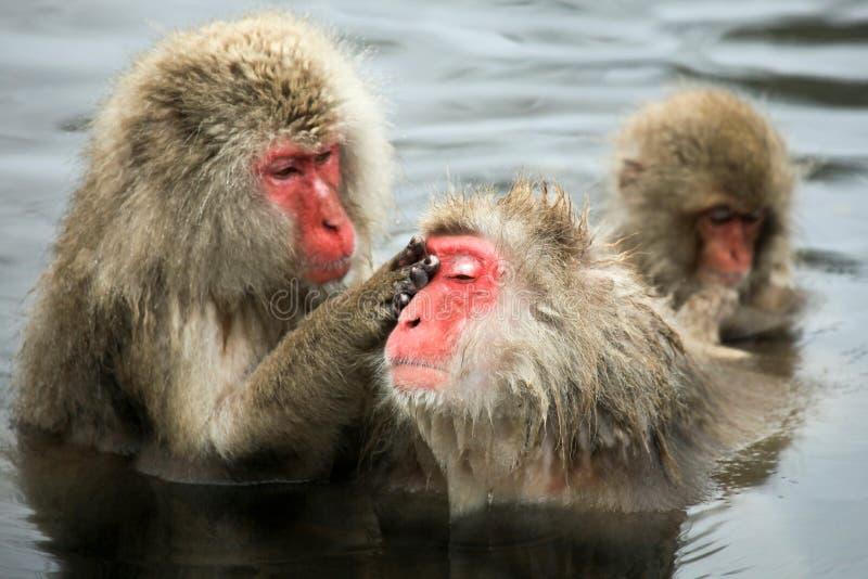 La nieve monkeys, macaque que se baña en las aguas termales, prefectura de Nagano, Japón fotografía de archivo