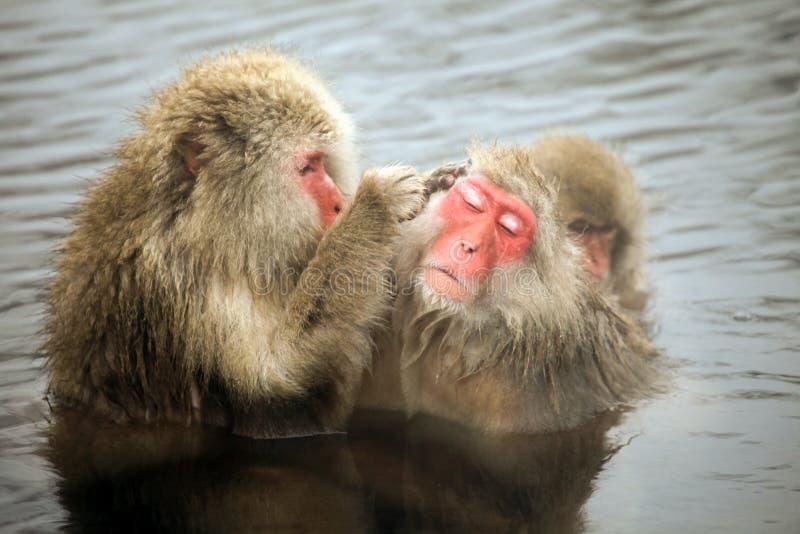 La nieve monkeys, macaque que se baña en las aguas termales, prefectura de Nagano, Japón fotos de archivo