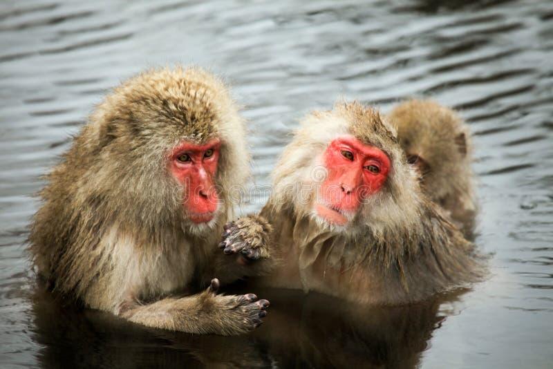 La nieve monkeys, macaque que se baña en las aguas termales, prefectura de Nagano, Japón foto de archivo