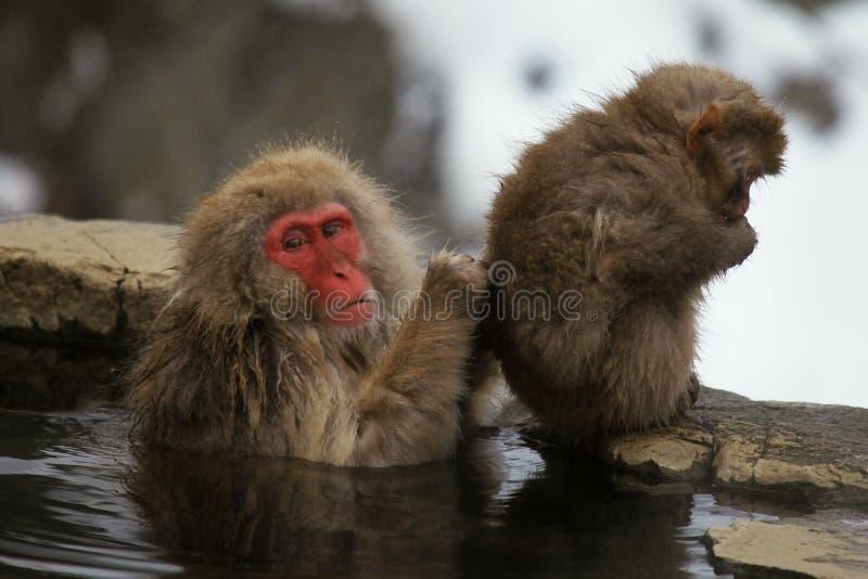 La nieve monkeys, macaque que se baña en las aguas termales, prefectura de Nagano, Japón imágenes de archivo libres de regalías