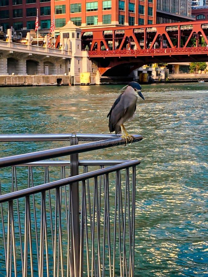 La nitticora Nero-incoronata, specie in pericolo di estinzione, si appollaia su un'inferriata mentre visita il Chicago River fotografia stock libera da diritti