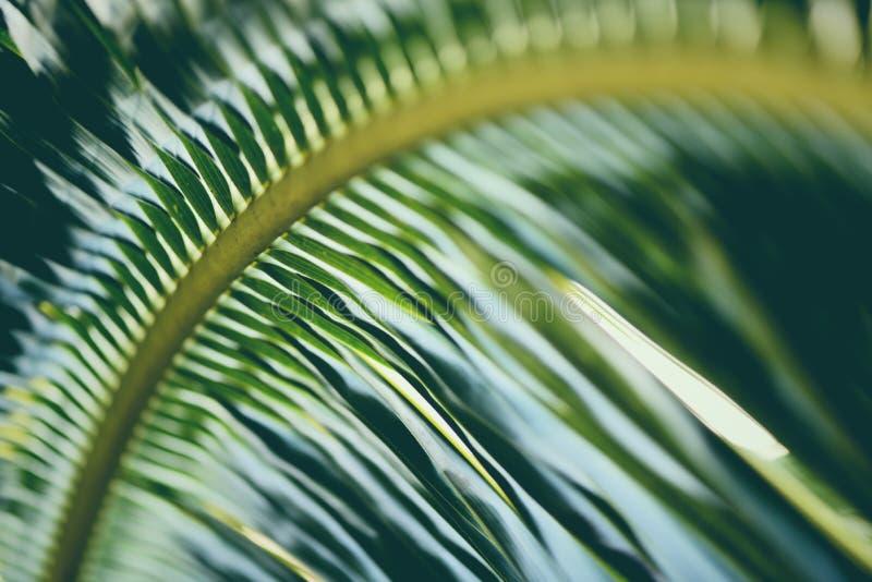 La noce di cocco lascia a fondo di foglia di palma verde fresco la pianta tropicale immagine stock