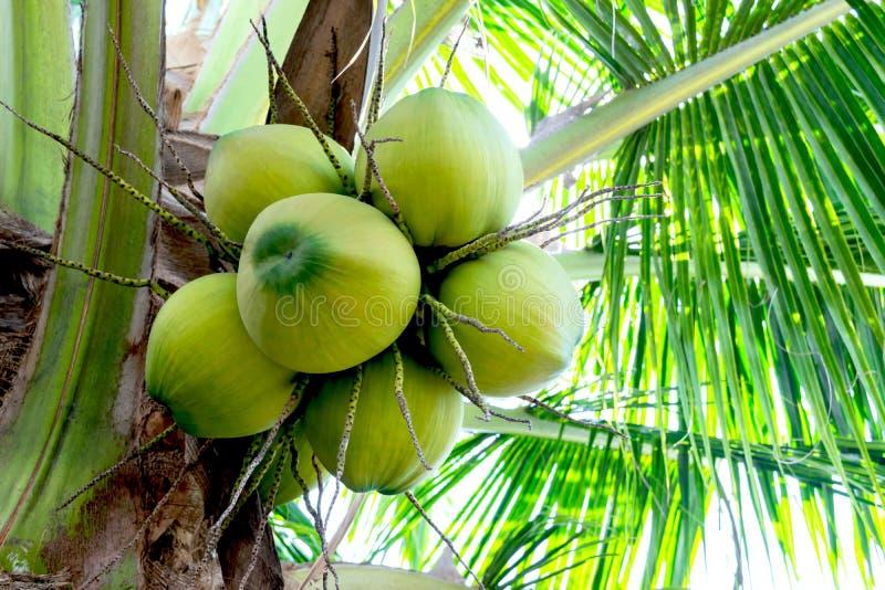 La noce di cocco su un albero per fare un'industria del latte di cocco o della bevanda immagine stock libera da diritti