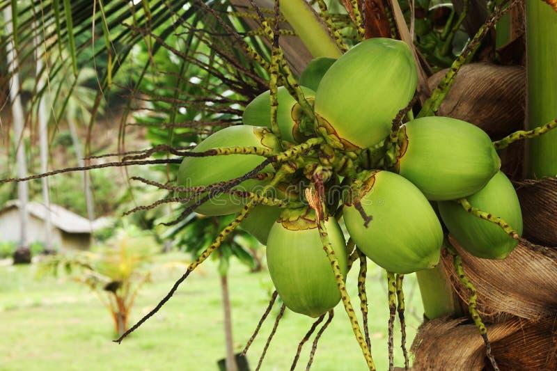 La noce di cocco verde fruttifica su una palma vicino alla spiaggia immagini stock libere da diritti