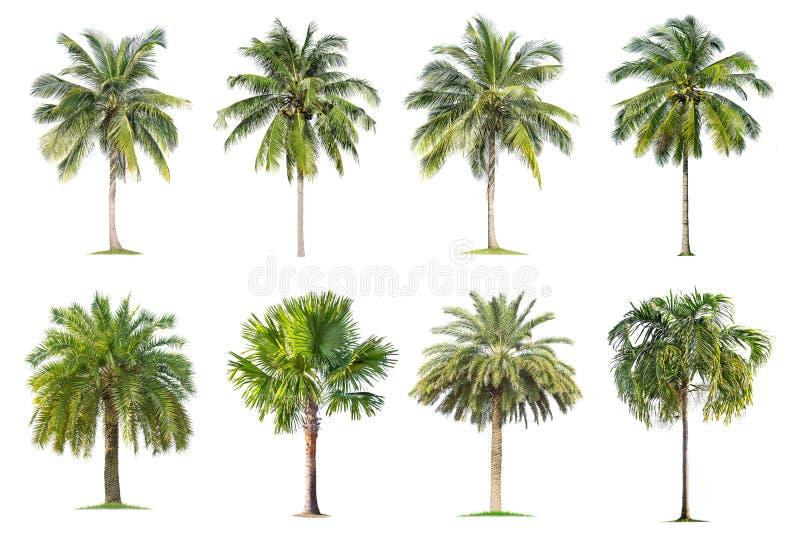 La noix de coco et les palmiers ont isol? l'arbre sur le fond blanc images libres de droits