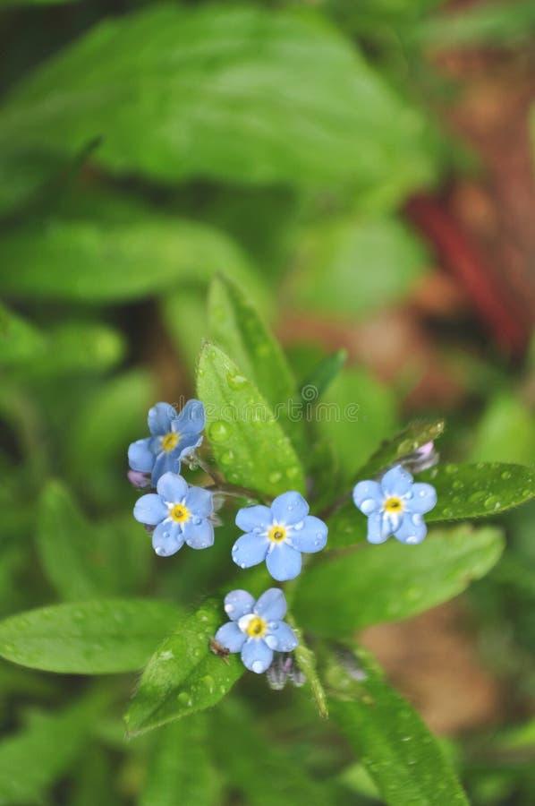 La nomeolvides florece con gotas de lluvia y el primer del rocío imagen de archivo libre de regalías