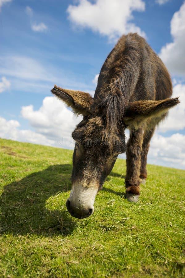 La Norfolk Broads, fin vers le haut d'un âne dans un domaine photo libre de droits