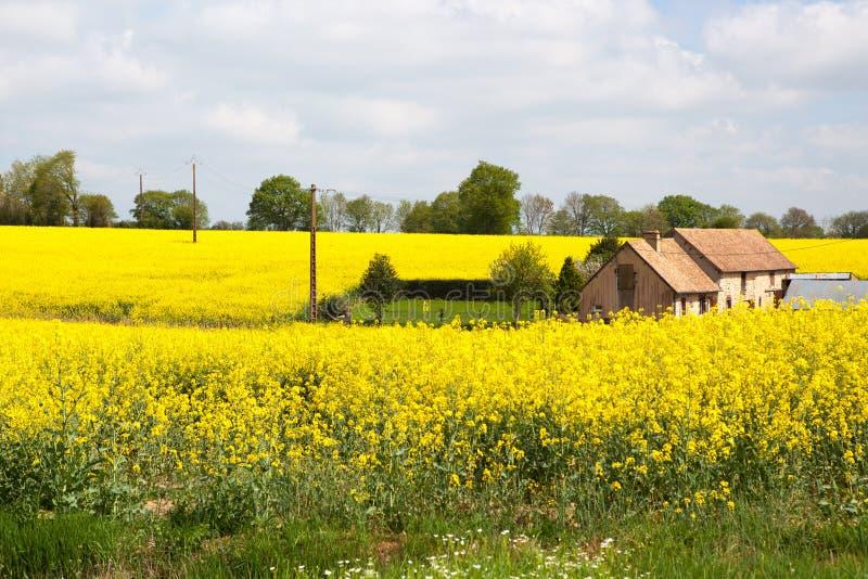 La Normandie/Frances : Une vieille ferme traditionnelle au milieu de graine de colza de floraison met en place dans la campagne f photographie stock