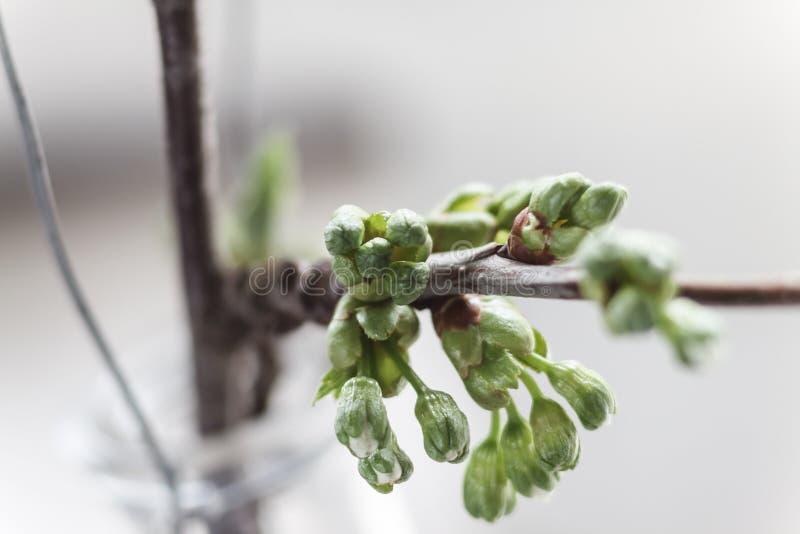 La nouvelle cerise, branche de pomme avec les jeunes bourgeonne et part dans le s photographie stock libre de droits