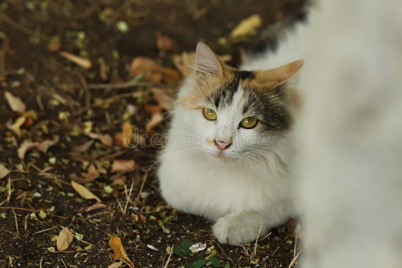 la nouvelle photo 2018, long chat blanc brun mignon de bête perdue de cheveux se repose dans l'herbe images stock