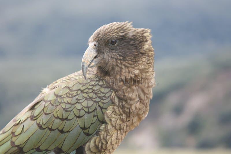 La Nouvelle Zélande Kea photo libre de droits