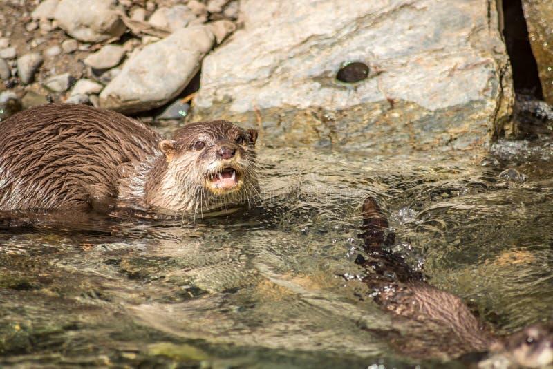 La nutria de río detecta peligro fotografía de archivo libre de regalías