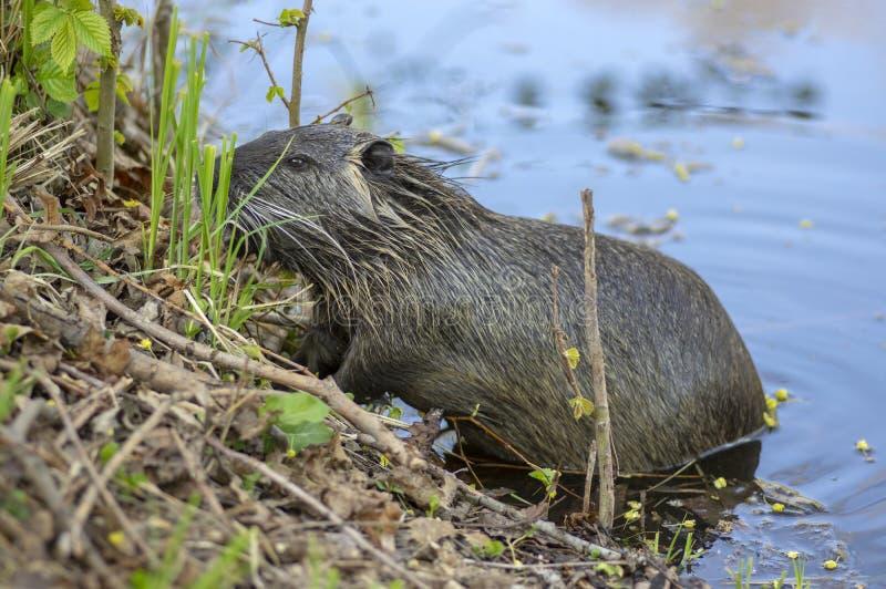 La nutria del Myocastor ? un grande roditore semiaquatic erbivoro, piccola bestia pelosa sulla sponda del fiume che mangia la pia immagine stock